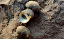 Sea Snail On The Rock
