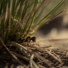 Hairy Ant (wasp, Mutillidae) Among Weeds