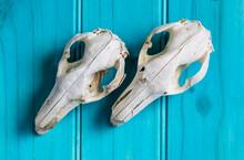 Two Kangaroo Skulls Laying Diagonally On A Blue Wooden Board