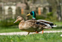 Ducks In A Park