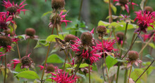 Selective Focus Of A Sphinx Moth Flying Near Pink Flowers In A Botanical Garden