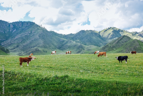 Photo Different color cows and bulls on a beautiful mountain pasture, natural farmland
