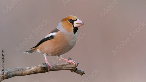 Fotografie, Obraz Hawfinch Coccothraustes coccothraustes sitting on a stick