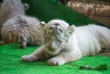 Baby White Tiger Is Lying Down. He Looks So Sleepy.