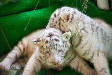 Two Cute White Tiger Babies Are Lying Down And Playing.