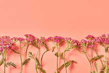 Bouquet Of Flower Yarrow On Pink Background. Copy Space