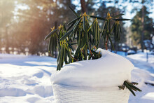 Potted Evergreen Rhododendron Covered With Snow In Sunny Winter Day. Plant Dormancy And Hibernation