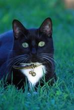 Tuxedo Domestic Cat On Grass
