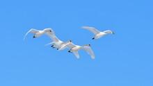 Four Swans In Flight Agains Blue Sky