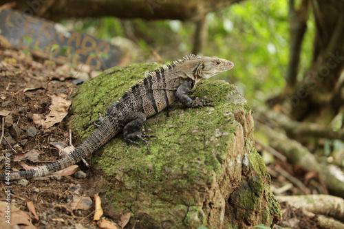 Photo Costa Rica Iguana