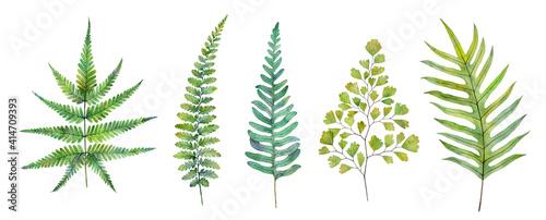 Watercolor fern leaves isolated on white background. Hand drawn botanical illustration. - fototapety na wymiar
