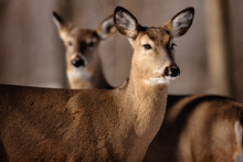 Two White-tailed Deer, Alert To The Sounds Not Far Off In The Woods Near Hartford, Wisconsin In Mid-February