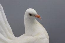 English Fantail Pigeon, Beautiful White Pigeon Isolated On Grey Background