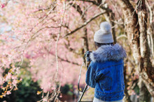A Young Woman Traveling And Taking Pictures Of Beautiful Pink Cherry Blossom Sakura In Winter. A Young Photographer Travels And Captures The Pink Cherry Blossom That Only Blooms Once A Year.