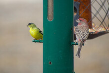 House Finch And Goldfinch Perched On Green Seed Feeder
