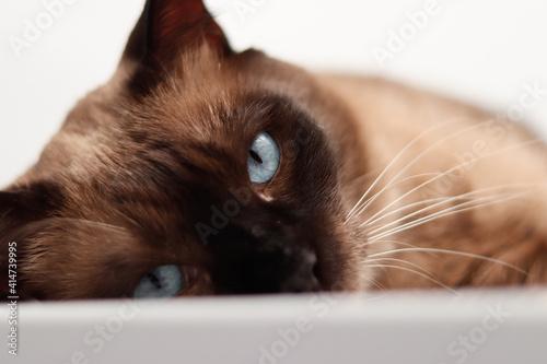 Fototapeta gato siamés acostado