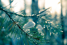 Pine Needles Covered With Snow Close-up. Snow-covered Pine Needles On A Sunset Background. Dawn In The Forest. The Sun's Rays Shine Through The Branches.