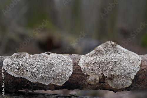 Obraz na plátně Inedible mushroom Datronia mollis in the floodplain forest