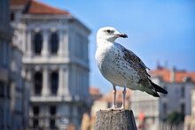 A Young Seagull By The Sea
