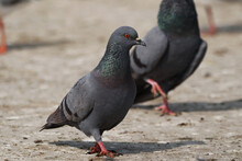Closeup Shot Of Pigeon Birds