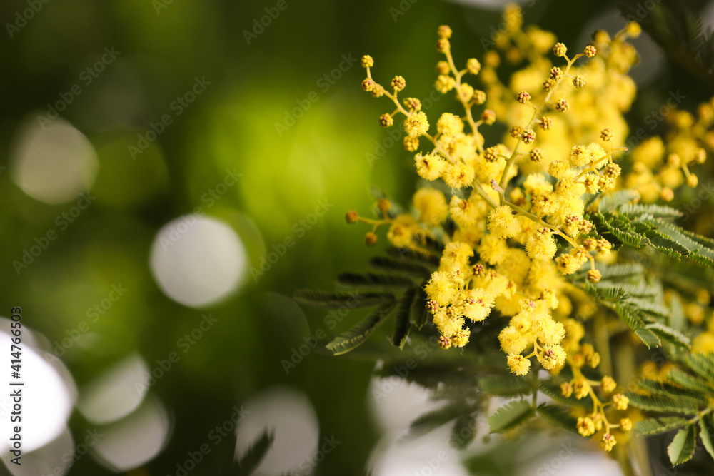 Fototapeta Beautiful mimosa plant on blurred background, closeup. Space for text