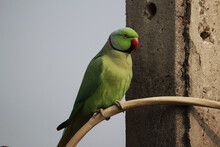 Rose-ringed Parakeet Perched On A Branch