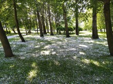 Snow In Summer On The Grass Under The Shade Of Trees. Summer Hot Day In The Park. White Fluff Lies On The Green Grass, As If Snow Had Fallen. Trees Bushes Grass All Green. The Bright Sun Is Shining.
