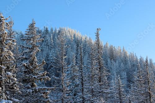 Fototapeta Ośnieżone drzewa, las zimą obraz
