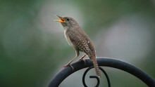 Singing House Wren Bird, Perched On Rail, Green Bokeh Background