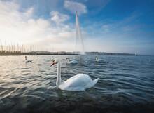 Swan At  Lake Geneva And Jet D'eau Water Fountain - Geneva, Switzerland.