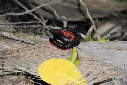 Foto Tausendfüßler Epibolus pulchripes centipede Insekt rote Beine