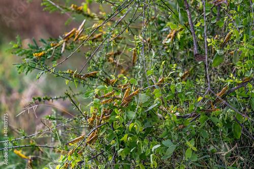 Slika na platnu Desert Locusts eating lush new vegetation after drought breaking rains