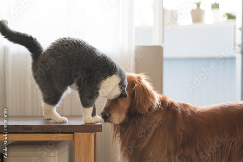 Golden Retriever and British Shorthair Fotobehang