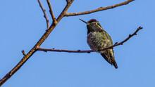 Anna's Hummingbird With Pink Cheek Perching On Tree