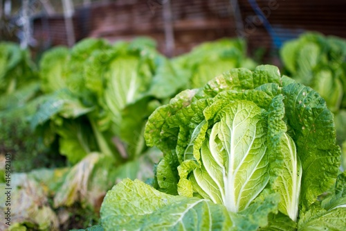 A close-up of fresh Chinese cabbage planted in Japanese fields. Fototapete