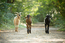 Cute Young Goats Running In Nature