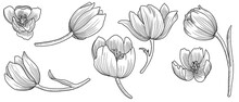Vector Drawing Set Of Tulips
