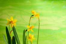 A Miniature Daffodil Flower With A Green Background