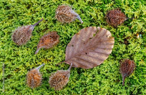 Beech leaf and fruits on green moss. Fagus sylvatica. © LFRabanedo