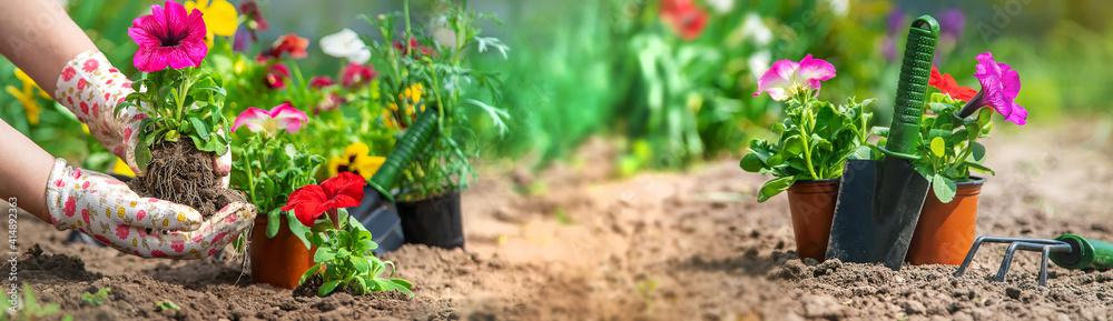 Fototapeta The gardener is planting a flower garden. Selective focus.