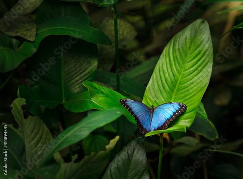 Fototapeta Blue morpho (morpho peleides) on green nature background, close-up