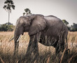 canvas print picture Selective focus of an old gray African elephant in a safari