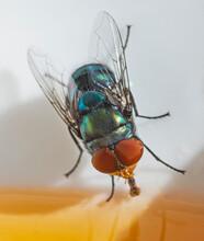 Green Bottle Fly Feeding On Honey In A Bowl