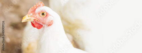 Tableau sur Toile Chickens broilers on the farm. Selective focus.