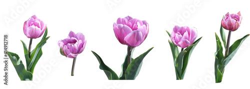 Obraz set of pink tulips isolated on white background - fototapety do salonu