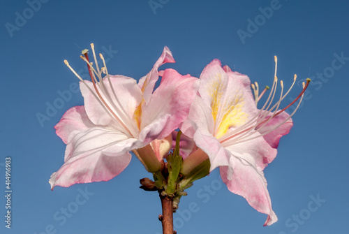 Fototapeta Rhododendron 'Satomi' (Rhododendron x mollis) in garden, Moscow region, Russia