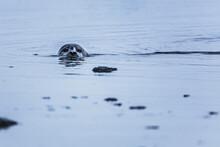 Some Seals In Jökulsárlón Glacier Lagoon, Iceland, North Atlantic Ocean
