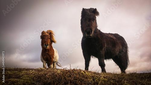 Fotografie, Obraz Shetland Pony auf den Shetland Inseln, Schottland