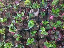 Codiaeum Variegatum Is A Genus Of Plants In The Family Euphorbiaceae.