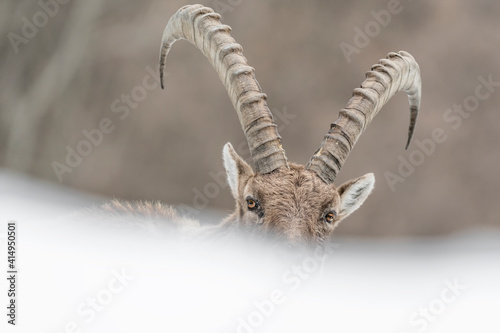 Fotografie, Tablou Face to face with the King of Alps mountains (Capra ibex)